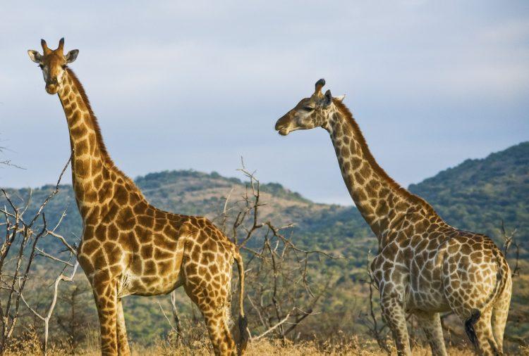 kenya-amboseli-national-park-safari-giraffes-dsc1071-lg-rgb