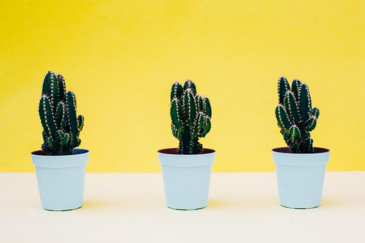 Three cactus plants on a white table
