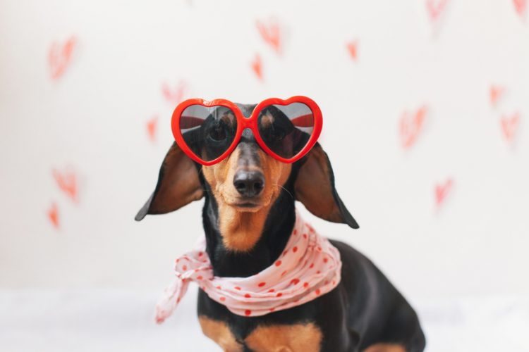 Cute dachshund wearing heart shaped sunglasses