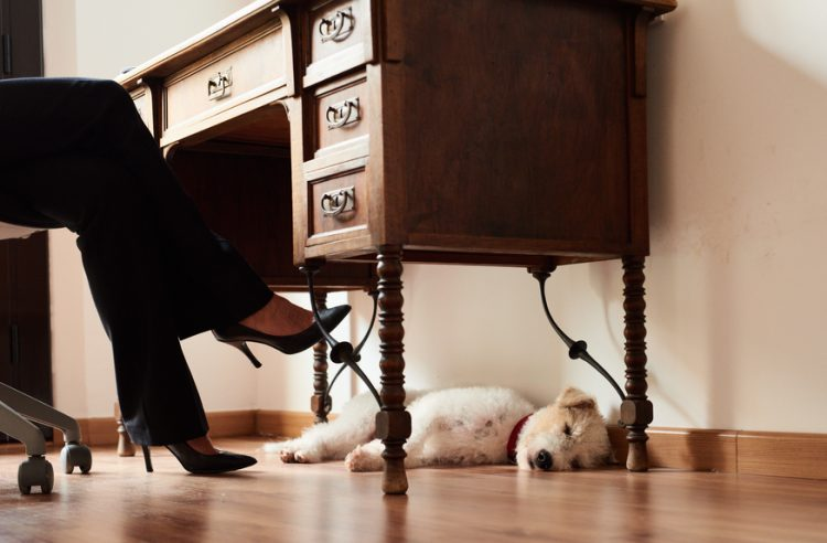Cute dog sleeping under the wooden desktop with unrecognizable woman in heels sitting on chair.